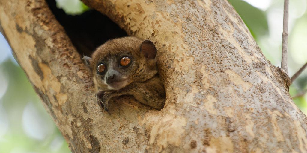 Sportive Lemur at Ankarana N.P.